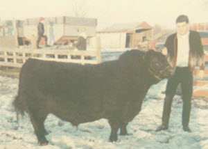 Our 3 year old herd sire Progressor in 1968.